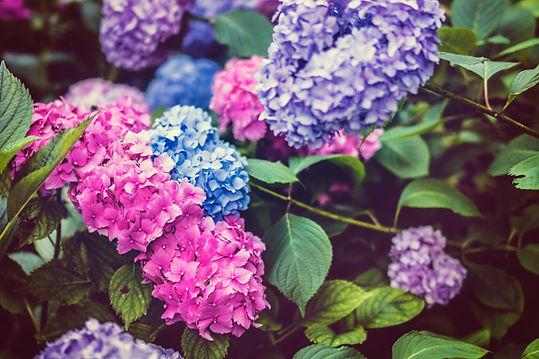 Colorful Hydrangeas