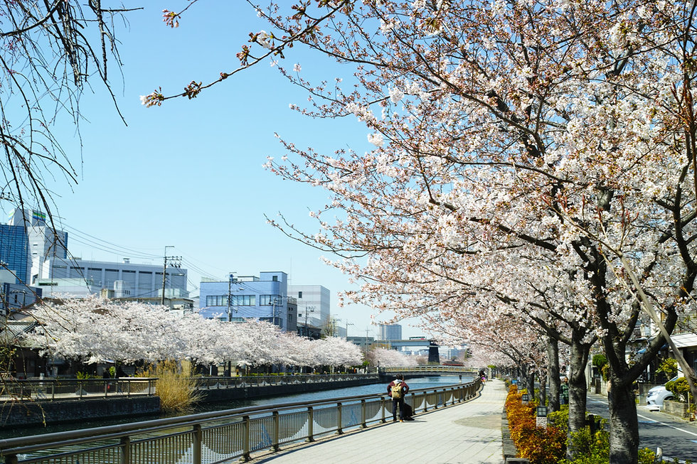 川辺に咲く桜