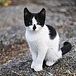 Smudge the Black and White Kitten