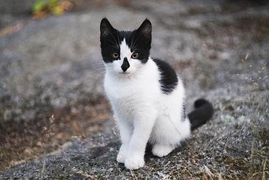 Zwart en wit kitten