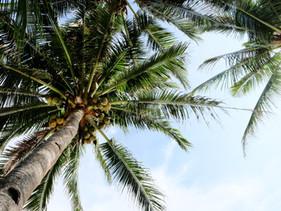 De prehistorische kokosnoot