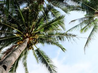 Coconut Trees