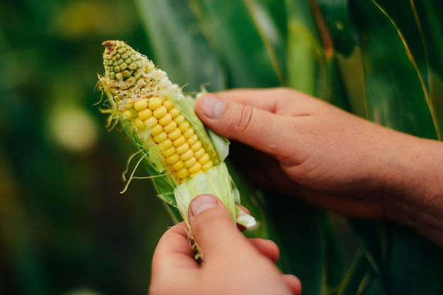 Farmer Holding Corn