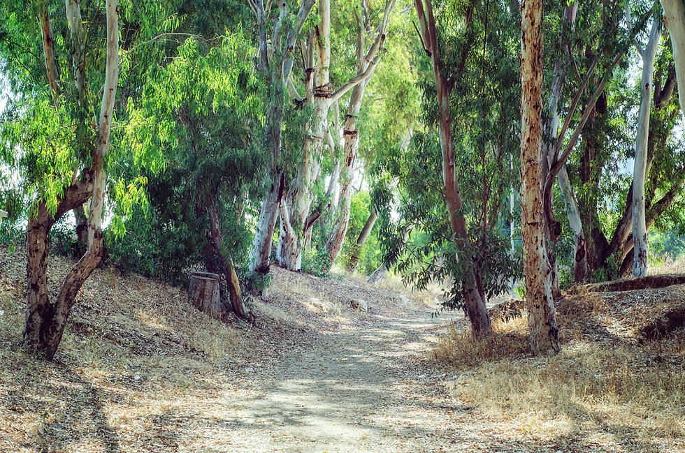 Pathway in Eucalyptus Grove