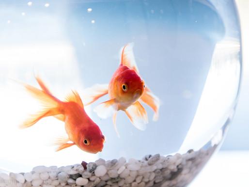La reproduction des poissons rouges