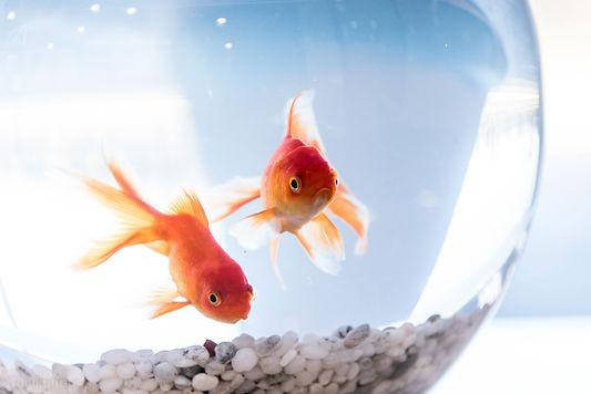 שני דגי זהב באקווריום קטן