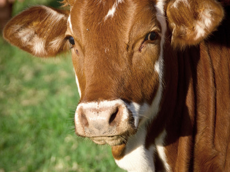 Cow Runs Into Hospital Waiting Room and Acts Like...a Cow