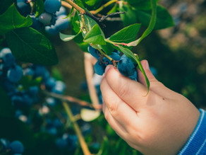 Blueberries...juicy blue pearls of health