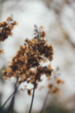 Dried Buddliea (still on plant)