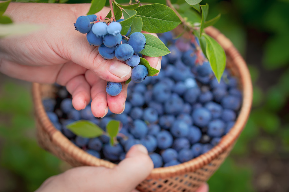 delicious picked blueberries fresh off the branch