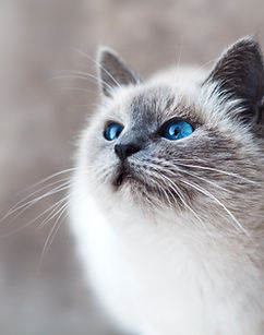 Cat With Blue Eyes