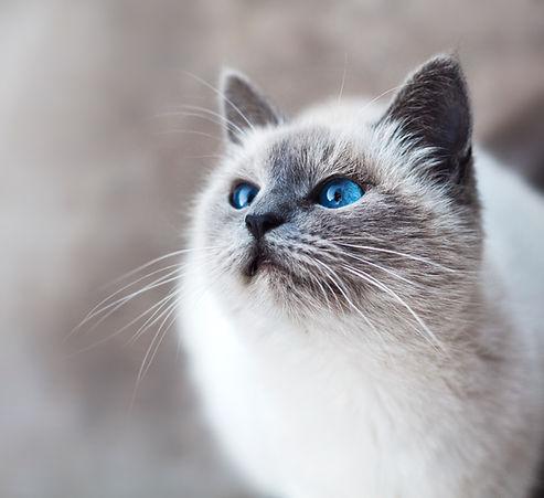 藍眼睛的貓