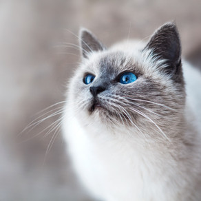 In depth: should I feed my cat with chronic kidney disease a raw diet?