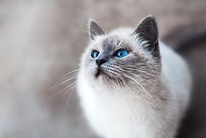 Siamese Cat Arcadia Veterinary
