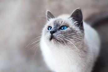 Chat aux yeux bleus