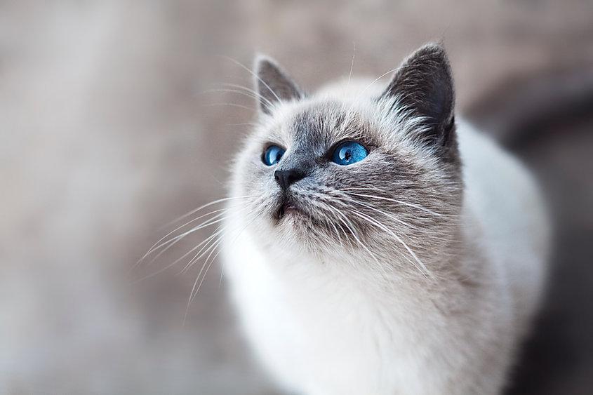 Katt med blå ögon