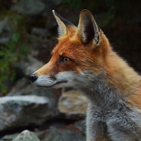 Que faire si vous trouvez un animal sauvage blessé ?