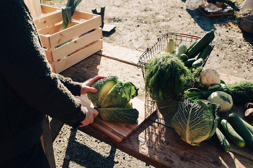 Farmer Cutting Cabbage