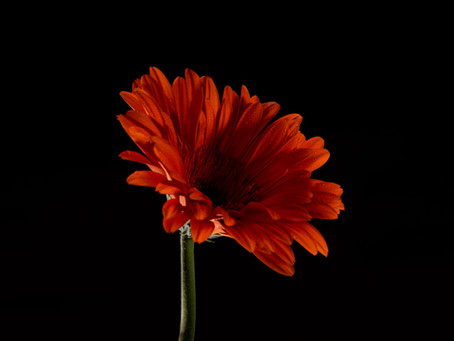 CARE AND CULTIVATION OF GERBERA