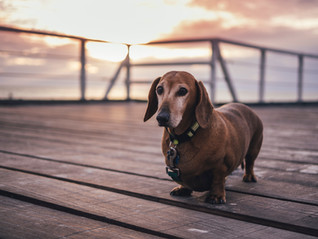 How to help your Dog with arthritis and improve their Quality of Life with Tara Monaham