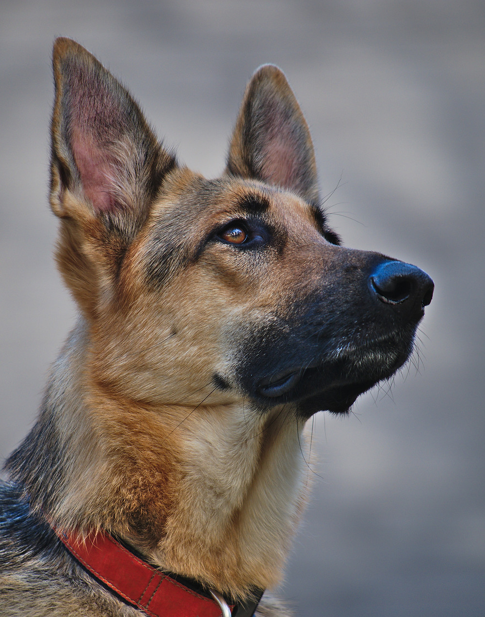 German Shepard dog high risk for CCL injuries
