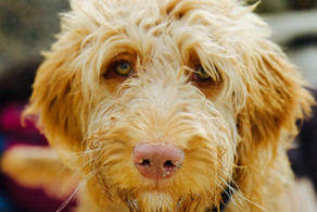 Is Your Dog Suffering From Osteoarthritis?