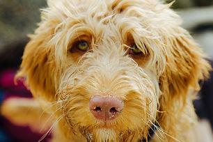 Hartproblemen Hond