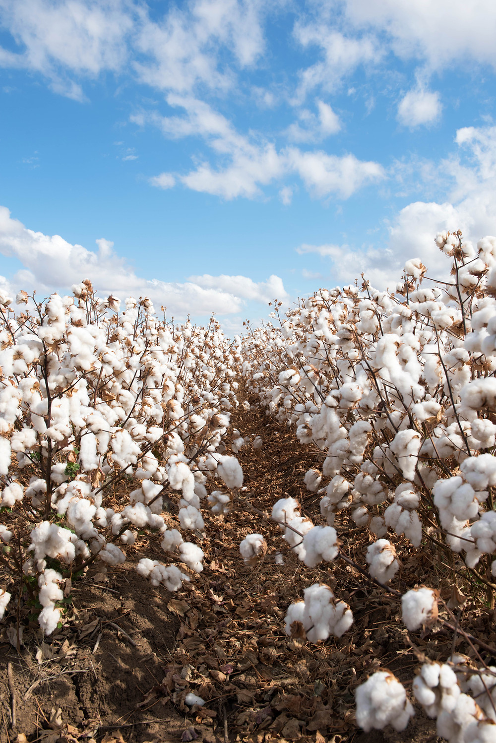 Field of cotton image