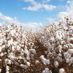 Campo de algodón