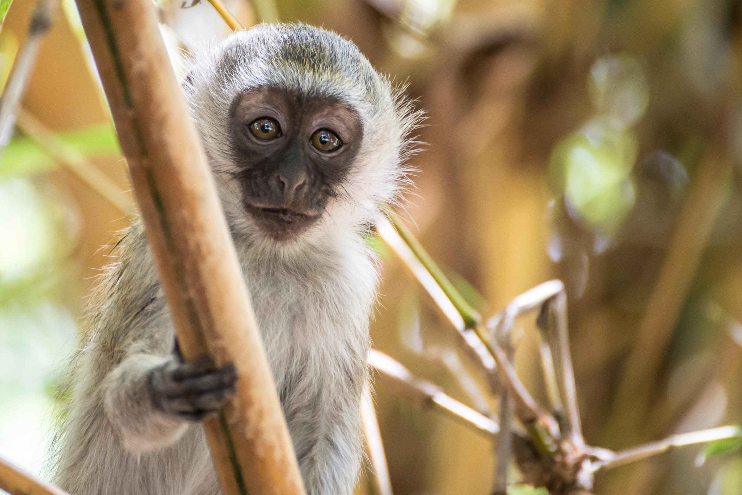 Scimmia di Vervet
