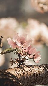 Almond Blossom_karanten