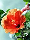 Caribbean Hibiscus Flower