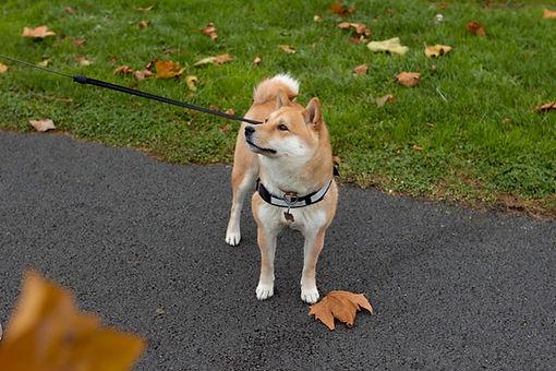 お散歩中の秋田犬
