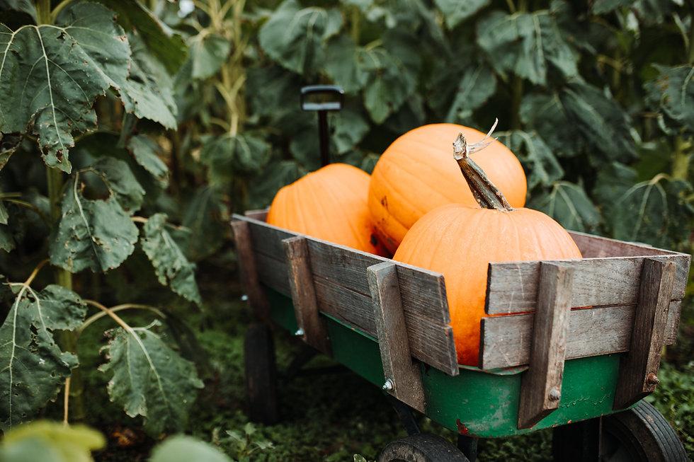 Pumpa Harvest