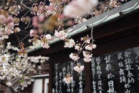 Fleurs d'arbre japonais