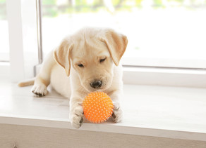 Coping with puppy teething