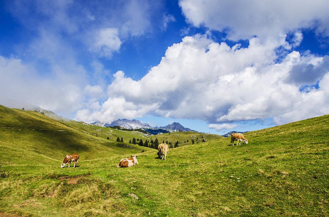 Freilandhaltung Kühe