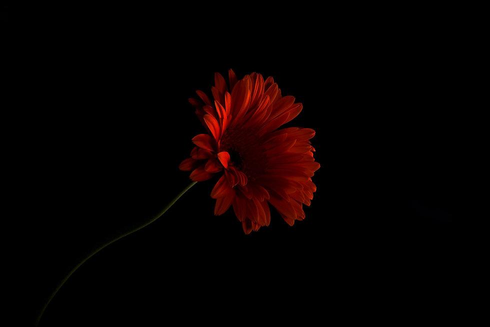 ดอกเยอบีร่า