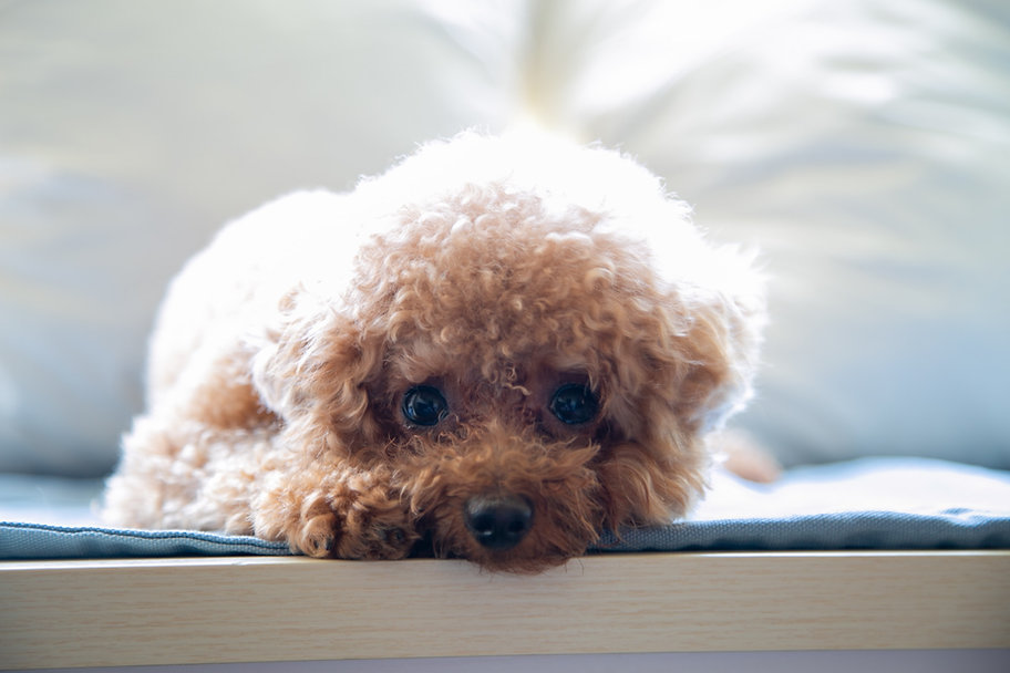 Cute Poodle