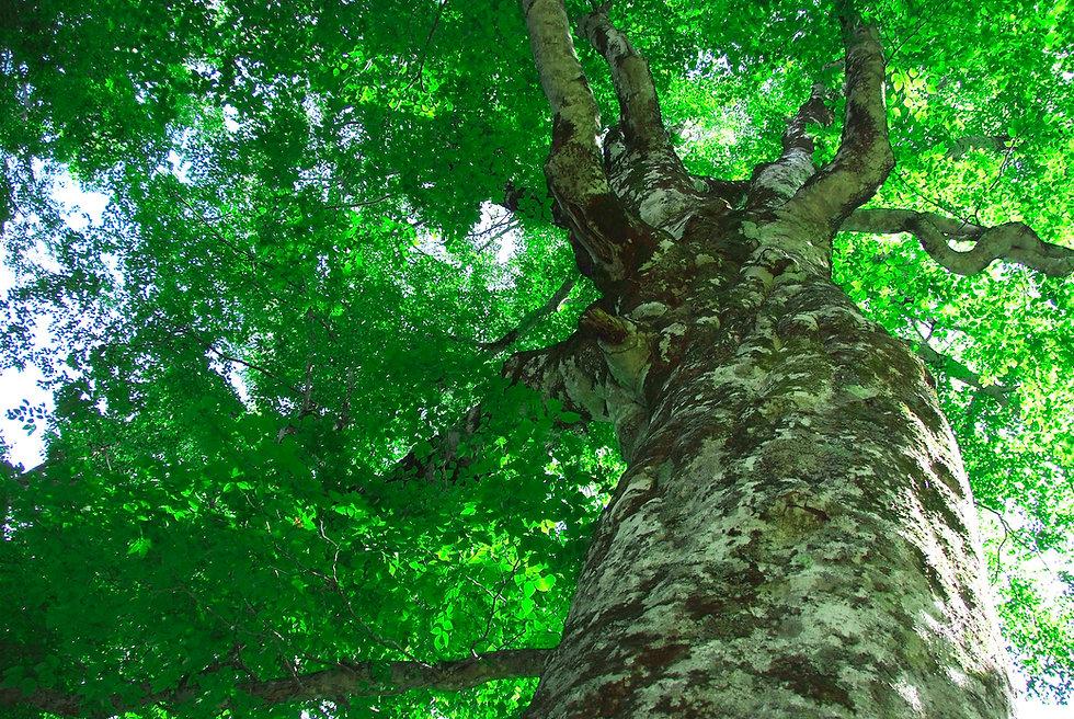 世界遺産 白神山地 マザーツリー