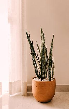 Indoor Snake Plants