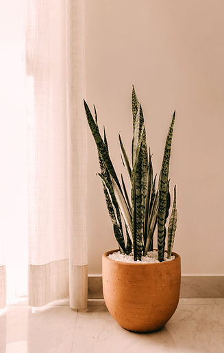 Indoor Snake Plants