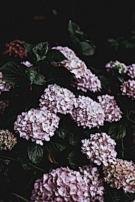 Bloeiende hortensia's