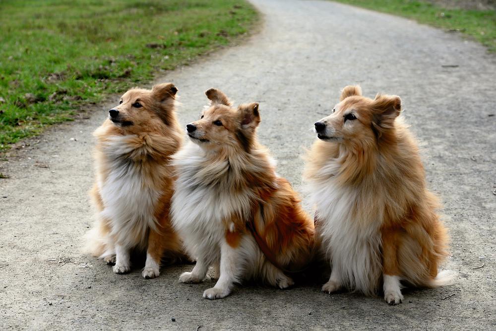 pastor de shetland cachorros peludos