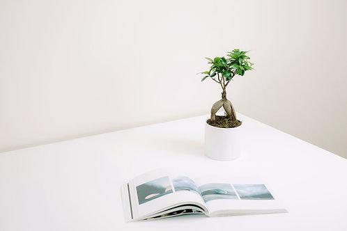Ficus ginseng et cache pot