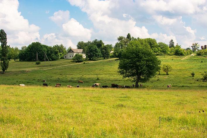 Mucche al pascolo nei campi