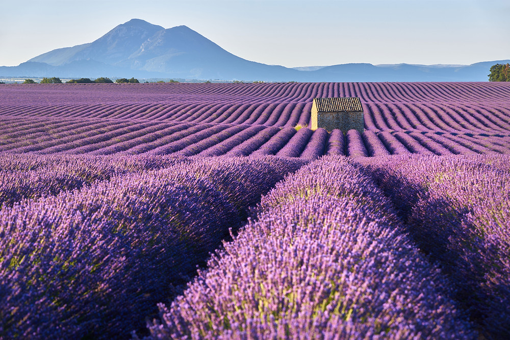 The Greeks added lavender to their baths to soothe their nerves.