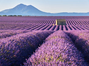Beginner's Guide to Growing Lavender