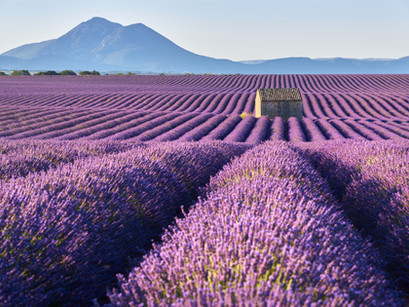 Spotlight on... Lavender