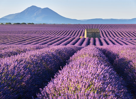 Revisiting Lavender: there's more to this herb